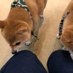 豆柴のつぶらな瞳にくぎ付け♪癒しのスポット「京都豆柴カフェ」は、京都のオアシス