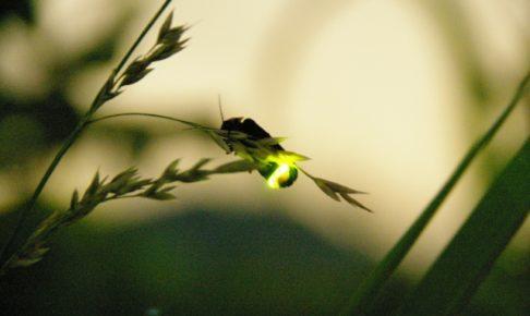 「哲学の道」で蛍を鑑賞できる時期やスポットは?見れるポイントも紹介!
